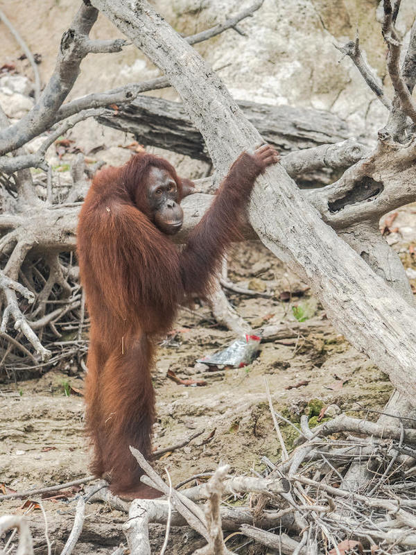 Día Mundial del Orangután