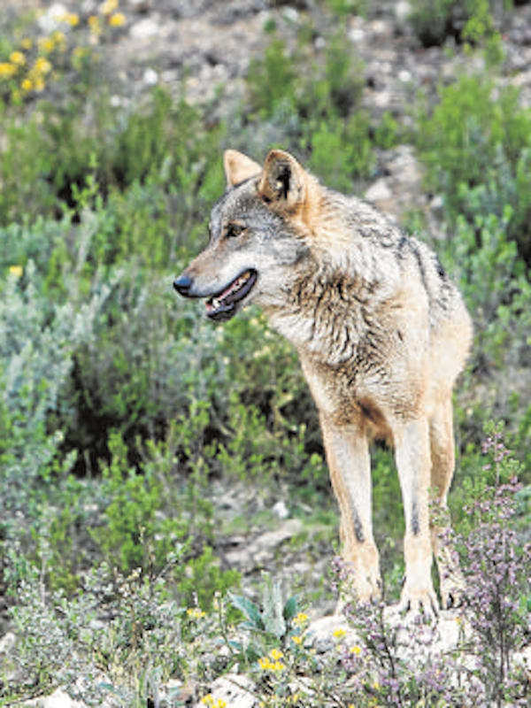 ¡Urge proteger al lobo en el norte!
