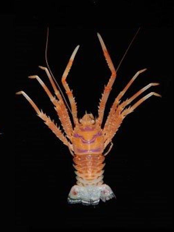 Describen varias especies de una familia de crustáceos conocidos como chinches de mar