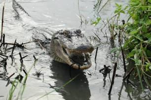 La cola del aligátor americano puede regenerarse como la de otros reptiles