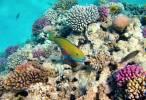 Naturaleza, un pargo octogenario bate todos los récords de longevidad entre los peces de coral