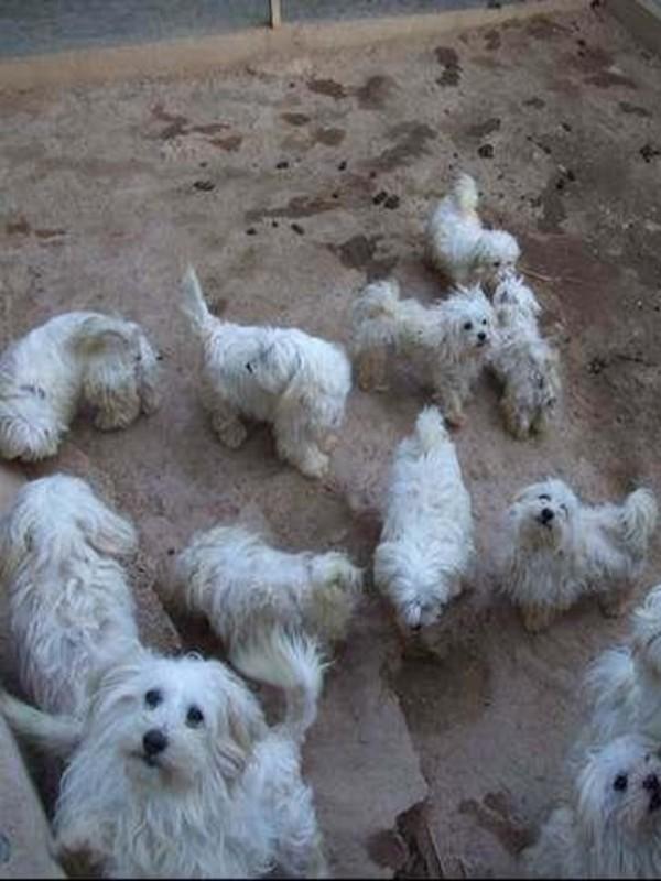 Animales de compañía, Vegas del Genil (Granada) desarticulado un criadero ilegal de perros, muchos de ellos con las cuerdas vocales cortadas