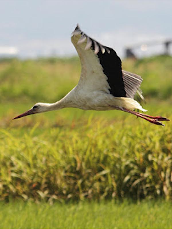 Naturaleza, interesante, muy interesante el vuelo de las cigüeñas blancas al cruzar el Estrecho de Gibraltar