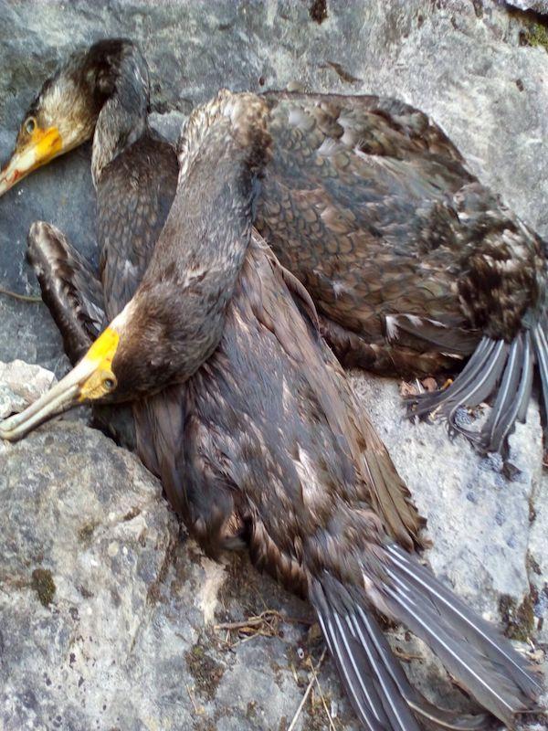 El Gobierno de Asturias continua con las matanzas de los cormoranes para contentar a los pescadores