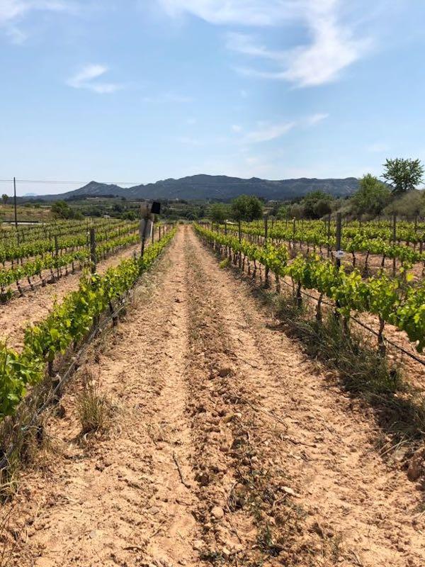 Calentamiento global. Finaliza el proyecto de I+D Globalviti con avances significativos en la mejora de la producción vitivinícola frente al cambio climático