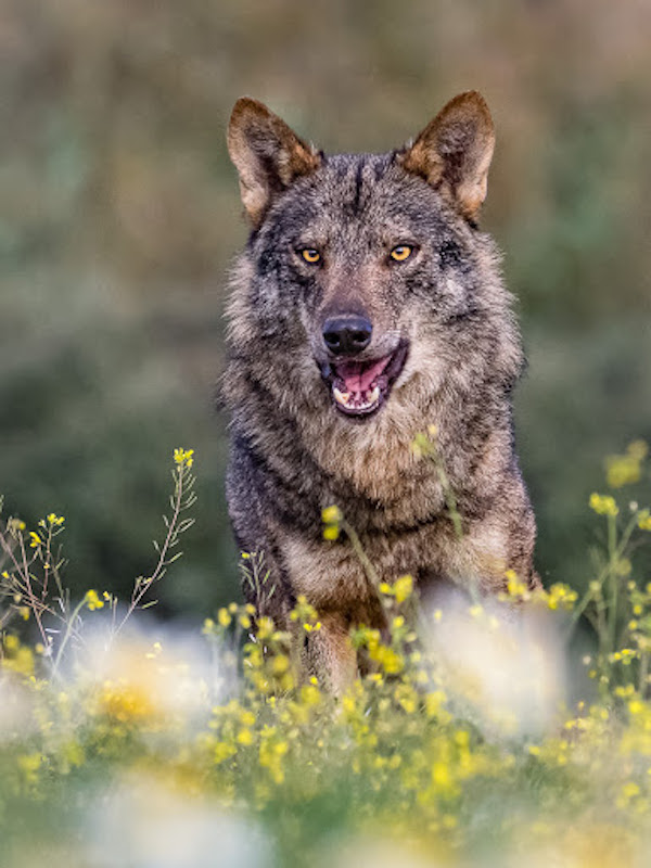 Naturaleza, tres comunidades autónomas en guerra frontal contra el 'lobo'