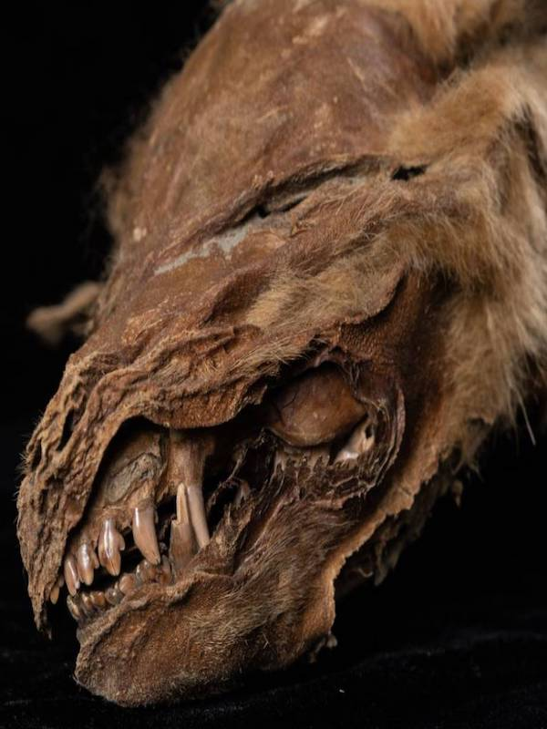 La momia de una cachorra de lobo aparece en el permafrost canadiense tras 57.000 años