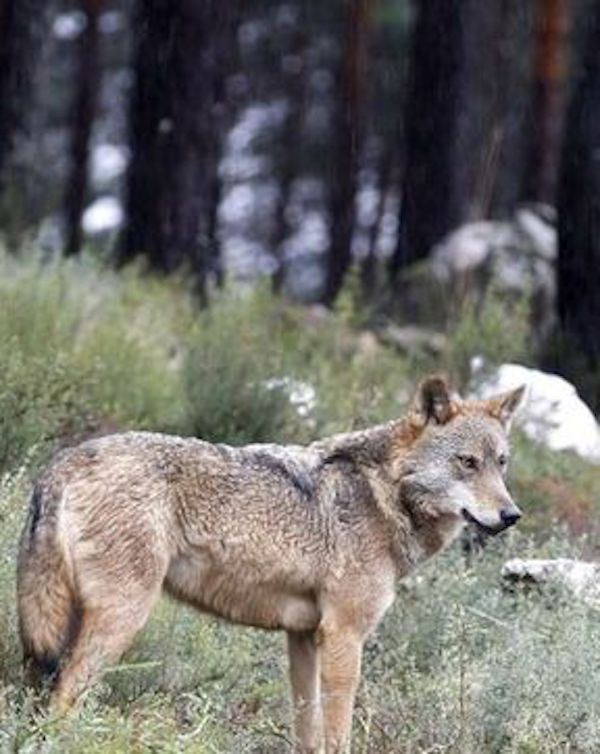 ¿Quién será el 'valiente' de asesinar a balazos al último lobo de Araba (Euskadi)?