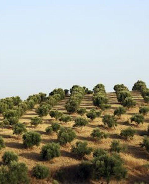 ¿Se puede fomentar la fertilización del olivar basada en la economía circular?