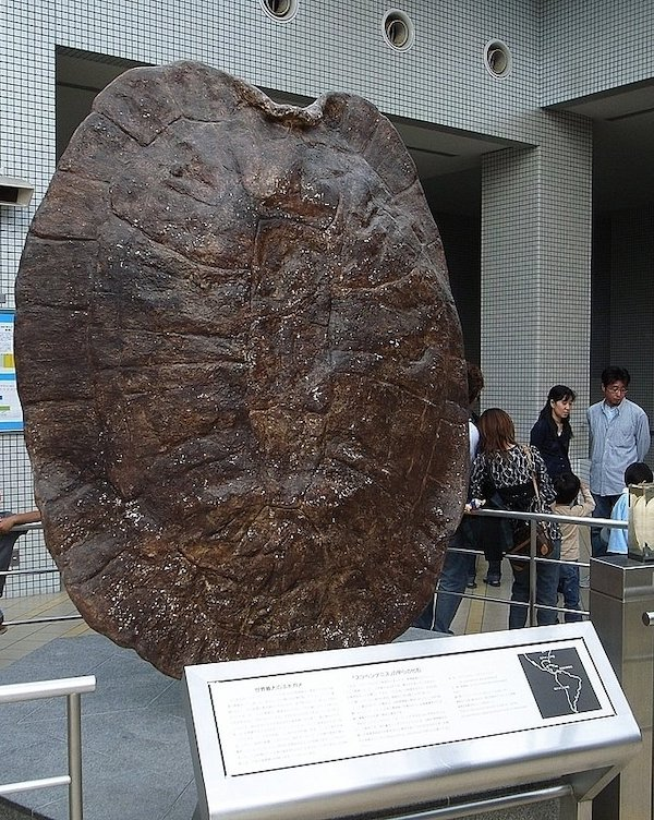 Conoce a Stupendemys Geographicus, la mayor tortuga que haya existido