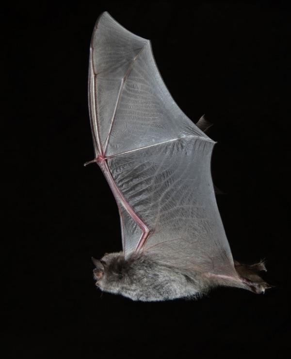 EL Proyecto ENDESABATS en Catalunya descubre una colonia de murciélagos en fase de extinción