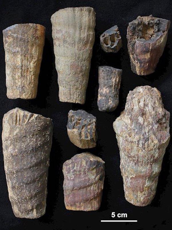 Descubren en el Parque Nacional de Cabañeros un cefalópodo fósil que vivió en el mar del extinto continente Gondwana