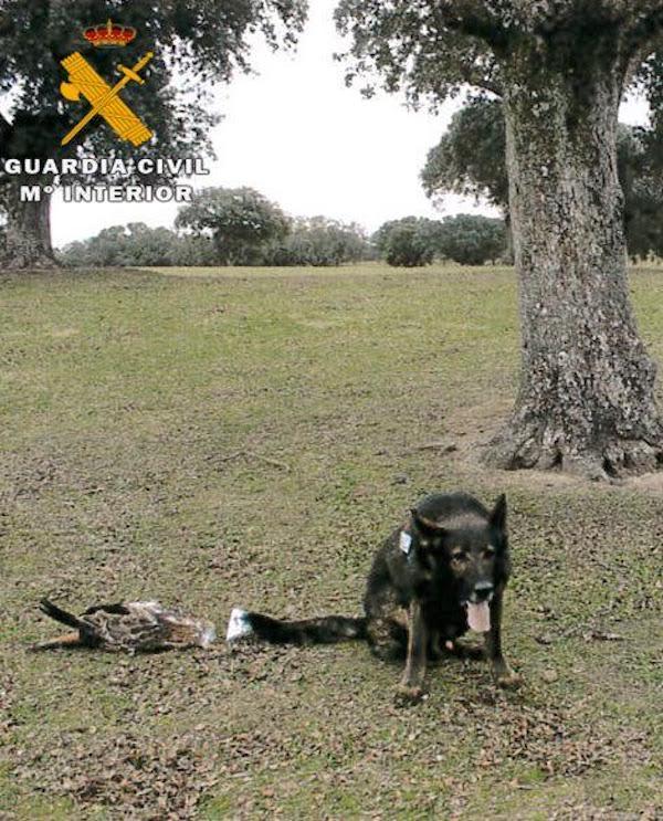 Envenenamiento de fauna protegida en Oropesa