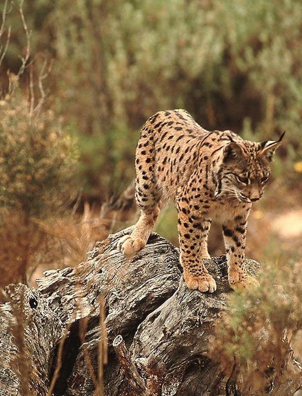 ¿Andalucía podría permitir la caza del lince?