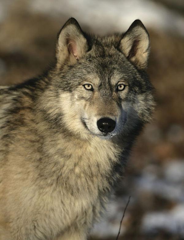 Monitorizando los osos y lobos del Pirineo