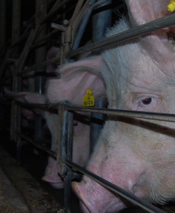 Lluvia de millones para la insostenible ganadería industrial europea