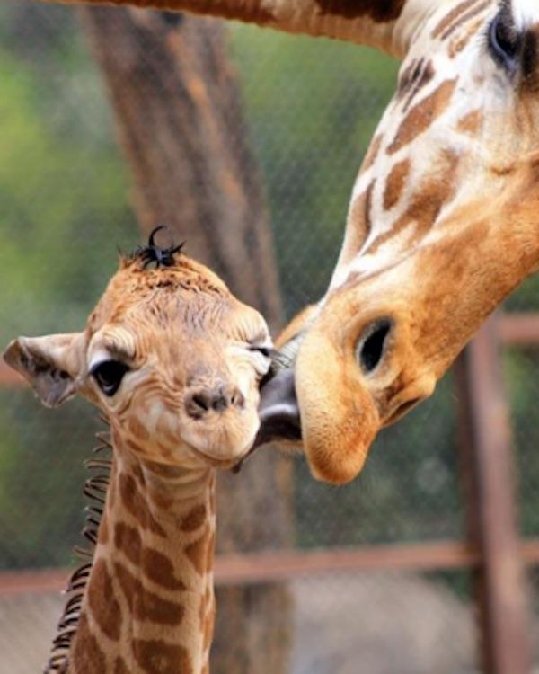 El zoo de Barcelona 'vuelve a las andadas'