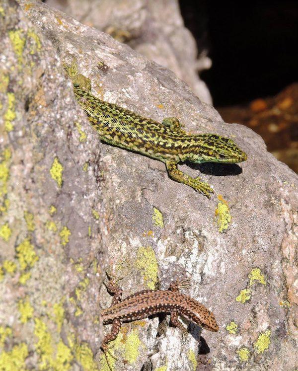 Las lagartijas ibéricas se adaptan mejor de lo que se preveía a la crisis climática