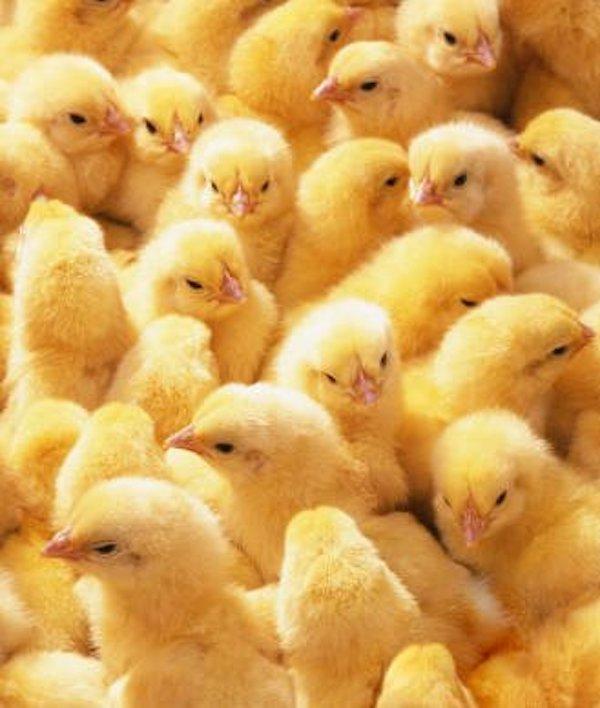 Francia toma medidas para evitar el 'triturado' de los pollitos macho su primer día de vida