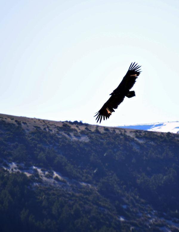 Trece buitres negros llegan a la Sierra de la Demanda para favorecer a esta especie amenazada