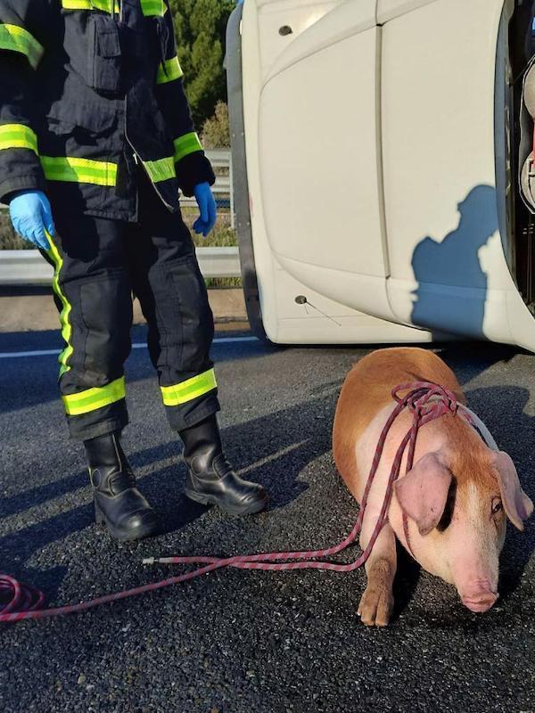 Los animales heridos en accidentes de tráfico dejados de la 'Mano de Dios'