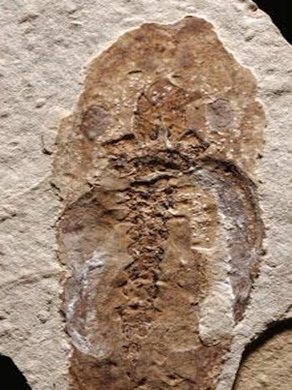 La insólita conservación de un fósil de renacuajo revela las causas de su muerte