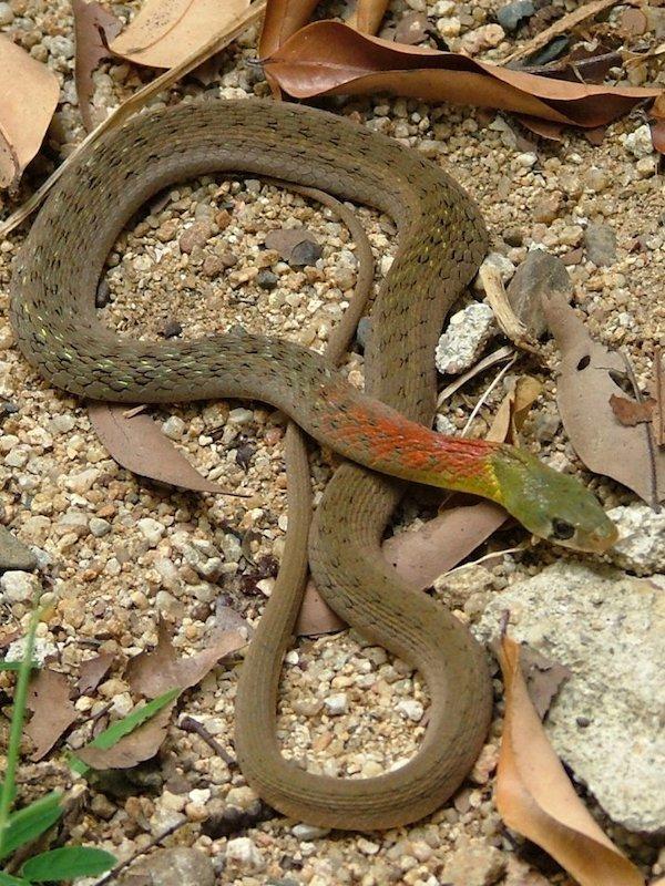 Sorprendente cambio evolutivo en serpientes