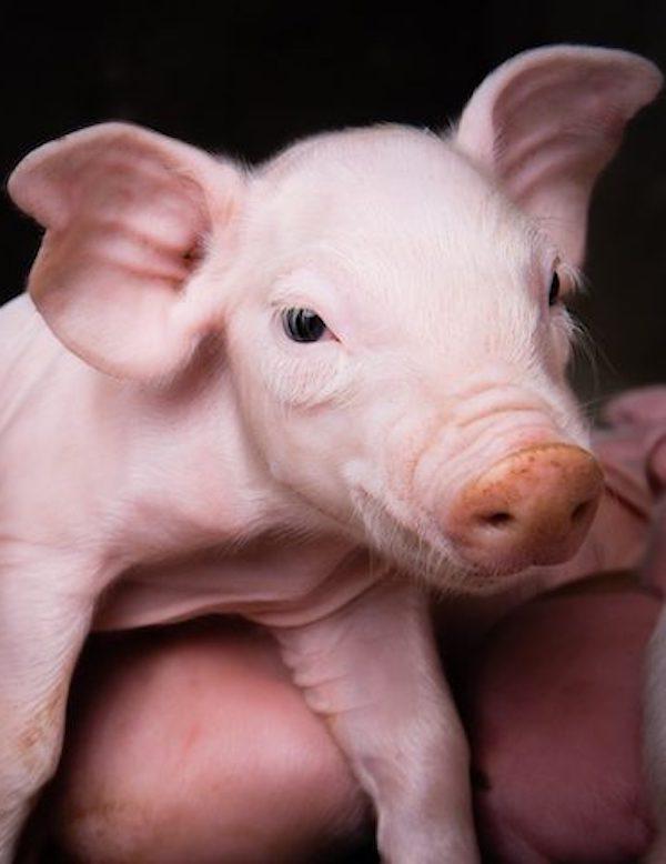 ¿Dónde está el problema para no 'amar' a los cerdos?