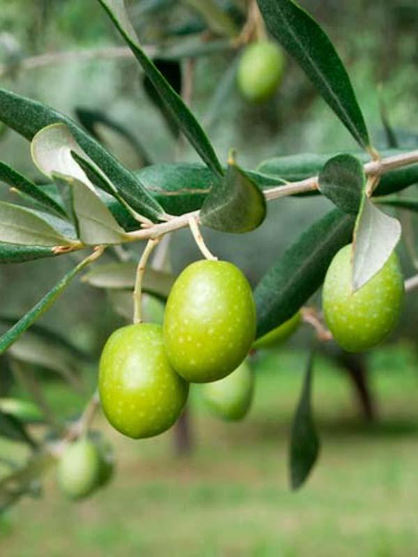 Desvelan el papel de la comunidad microbiana frente a la verticilosis del olivo