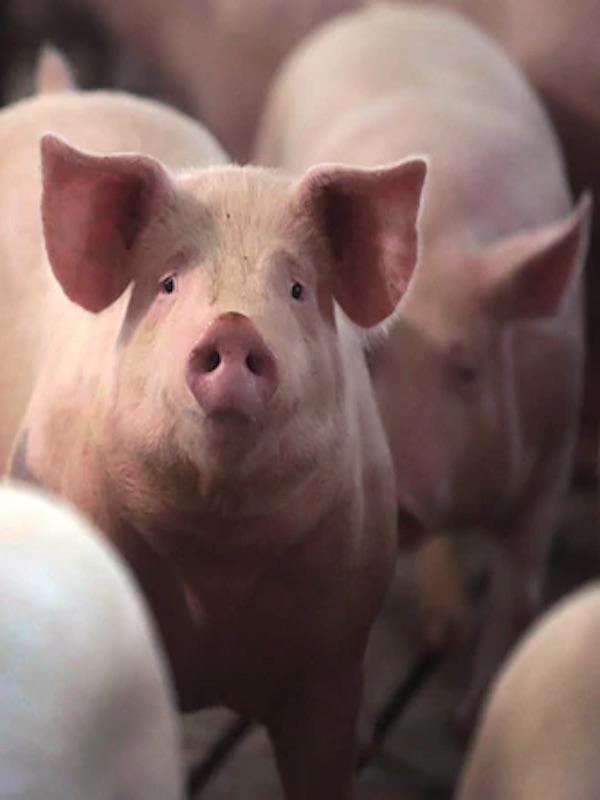 Una nueva cepa del virus H1N1 de gripe porcina identificada en las granjas de cerdos de China