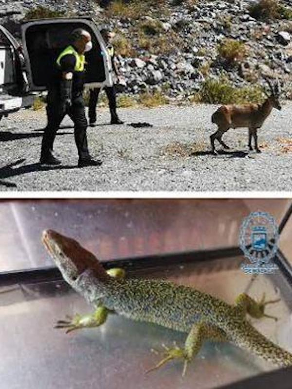 Málaga, recuperan una cabra montés, una culebra de herradura, un lagarto ocelado y sendas crías de cernícalo y vencejo