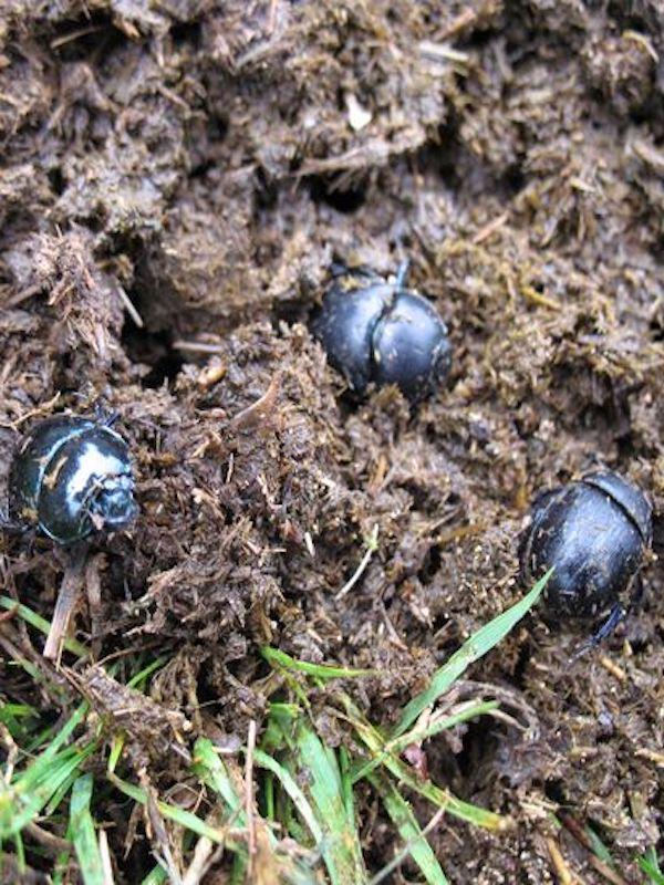 El antiparásito ivermectina se acumula en los insectos