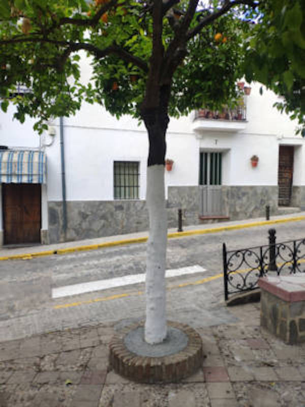 La estupidez no tiene fronteras, en la Sierra de Cádiz hormigonan los alcorques de los naranjos en 'El Bosque'