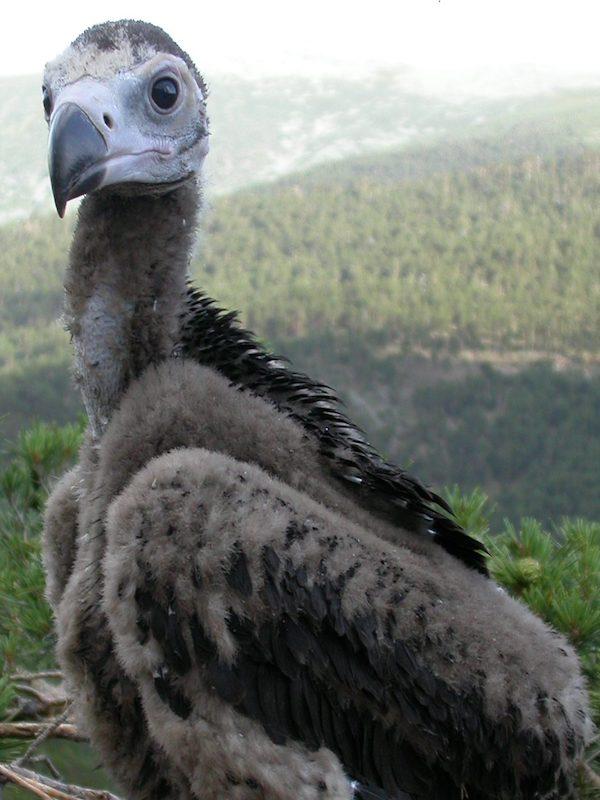 Anillan un pollo de buitre negro en un nido en el Parque Nacional de Guadarrama