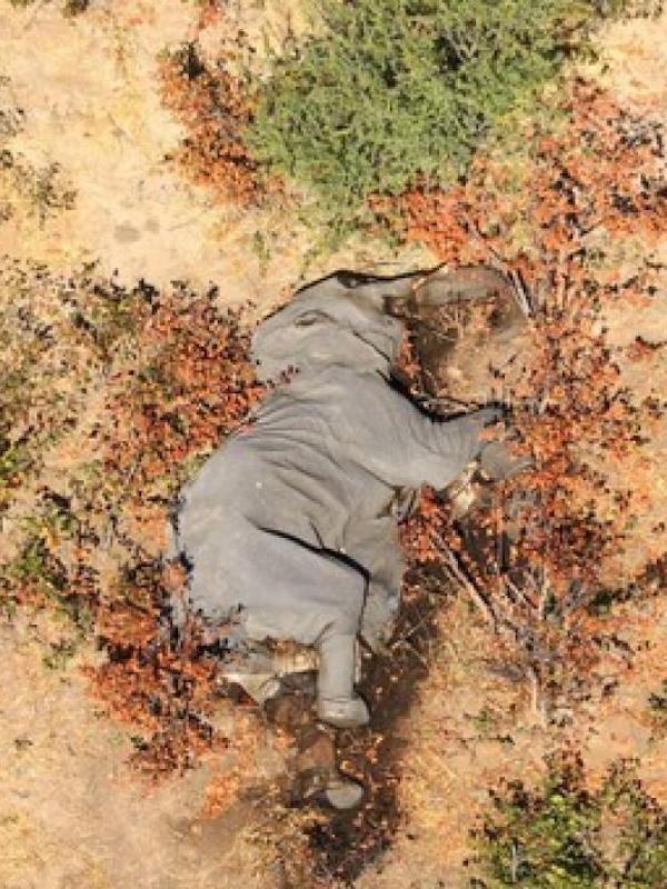 Una neurotoxina provoca la muerte de cientos de elefantes en Botsuana