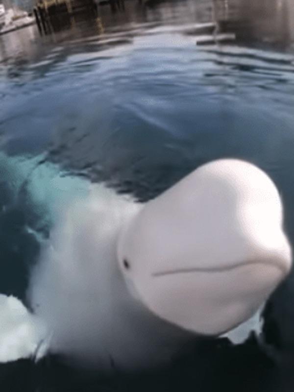 Las belugas forman redes sociales