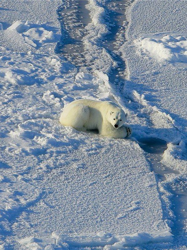 Un estudio advierte de la extinción casi total de los osos polares para 2100 por el cambio climático