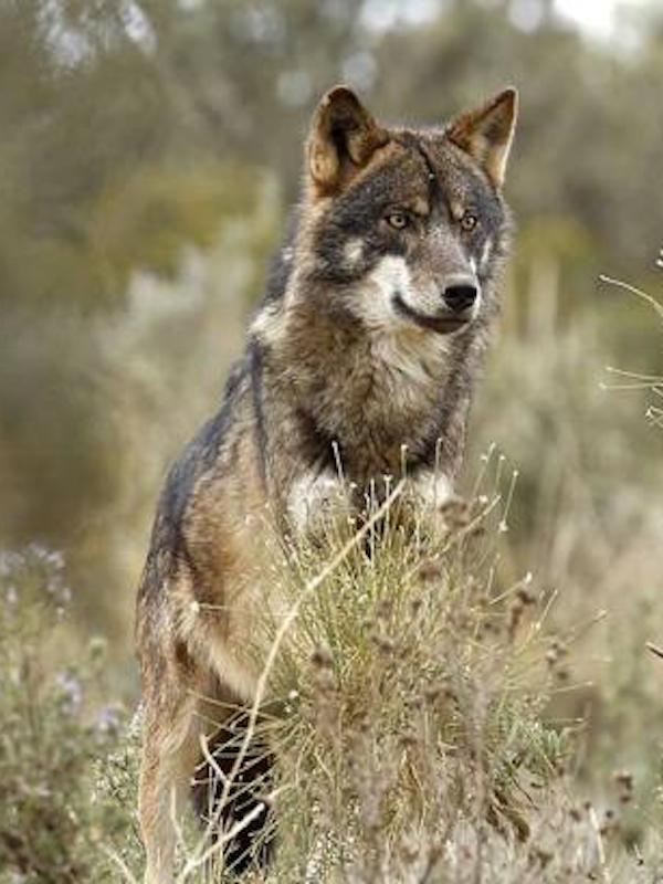 Se dispara el número de animales seropositivos a leishmaniosis canina en Asturias