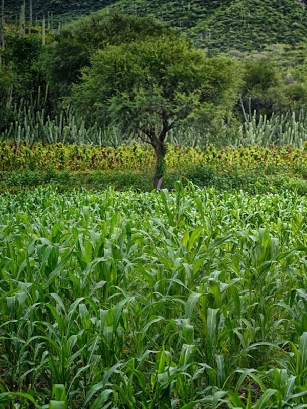 México. Enfoque agroecológico permitirá superar rezago social de comunidades indígenas