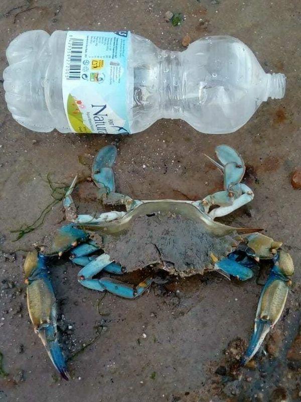 El cangrejo azul es una 'plaga' en los humedales de Almería