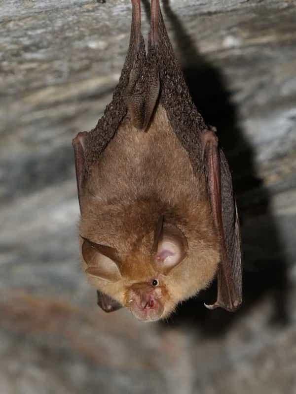 El SARS-CoV-2 lleva unos 60 años en los murciélagos