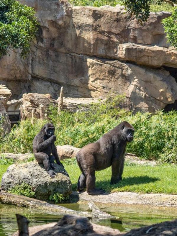 Las relaciones entre gorilas se limitan cuando viven en grupos grandes