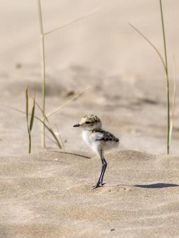 Protegiendo nidos y crías de aves nidificantes en el Estany de Pujol de l'Albufera de València