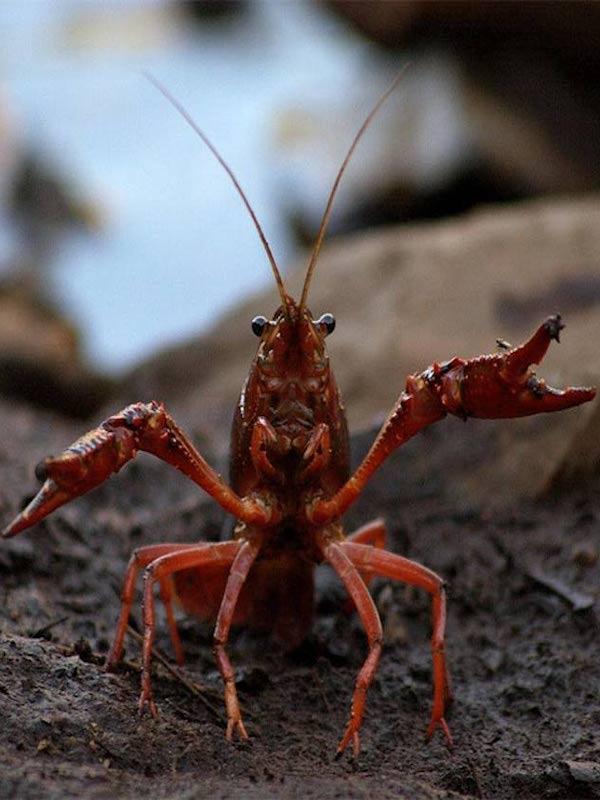 La historia de la invasión del cangrejo rojo en la península ibérica, a través de la genética