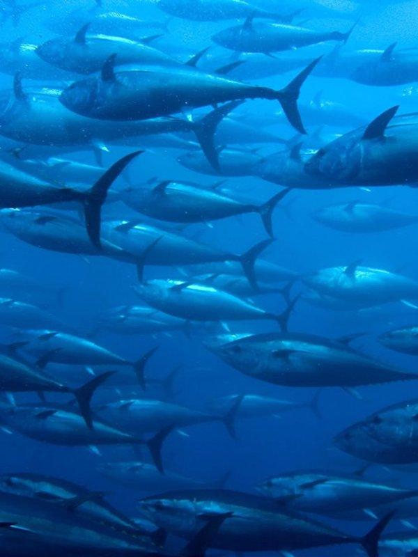 El atún rojo del Atlántico 'en la cuerda floja'