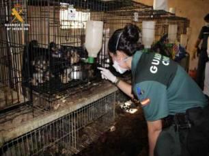 La Guardia Civil haya en una finca de Maella casi 600 perros en unas condiciones miserables