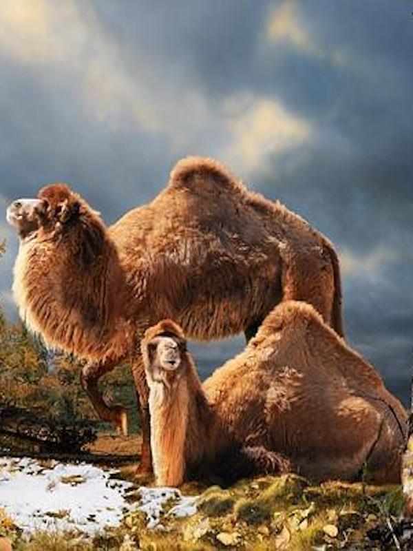 Los camélidos surgieron en sabanas que se extendían por Norteamérica