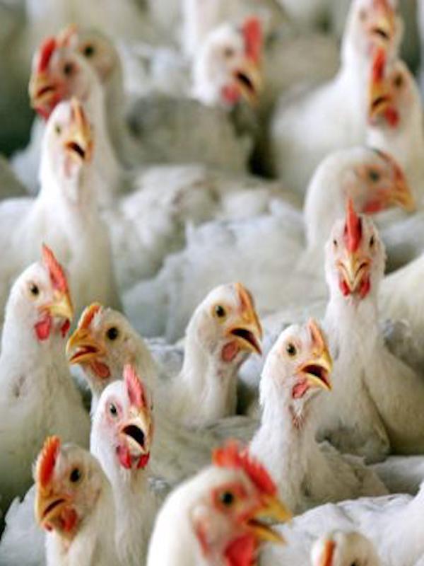 Pollos españoles 'atiborrados' de antibióticos