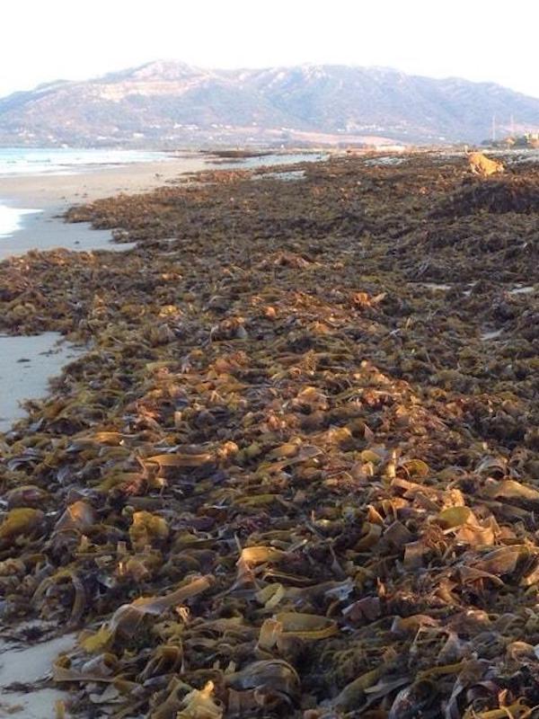 El alga asiática será especie invasora en España