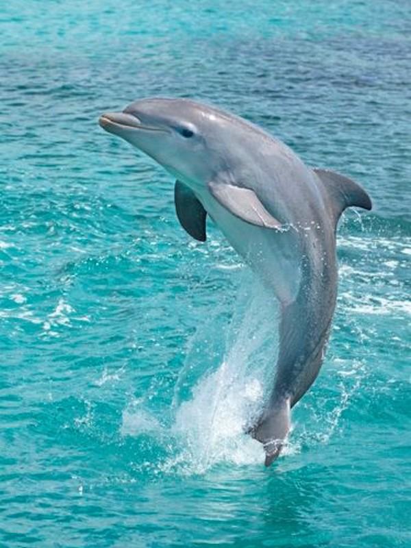 Los delfines pueden aprender técnicas de alimentación fuera del vínculo madre-cría